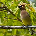 Cedar Waxwing Pictures 38 by World Wildlife Photography