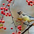 Cedar Waxwing Pictures 50 by World Wildlife Photography