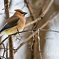 Cedar Waxwing Pictures 52 by World Wildlife Photography