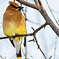 Cedar Waxwing Pictures 53 by World Wildlife Photography