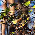 Cedar Waxwing Preparing To Fly by Chris Flees