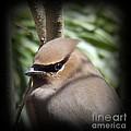 Cedar Waxwing Profile by Sara  Raber