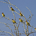 Cedar Waxwings by Allen Sheffield