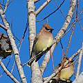 Cedar Waxwings by Bob Camp