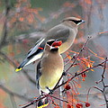 Cedar Waxwings by Lisa Jaworski