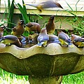 Cedar Waxwings by Stacey Pollio