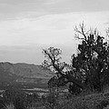Cedars by James Mulaney