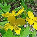 Celandine Poppy Or Wood Poppy - Stylophorum Diphyllum by Mother Nature