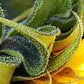 Celebration Sunflower by Wendy Wilton