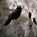 Cemetery Crows by Gothicrow Images