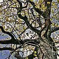 Cemetery Oak by Laura Mace Rand