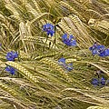 Centaurea Cyanus And Wheat by Science Photo Library