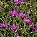Centaurea Uniflora Ssp. Uniflora by Science Photo Library