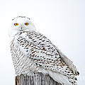 Centered Snowy Owl by Cheryl Baxter