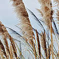 Central Coast Pampas Grass II by Kyle Hanson