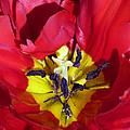 Centre Of A Tulip by Lynn Bolt