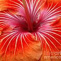 Centre Of Bright Orange Hibiscus by Rosemary Calvert