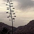 Century Plant by Regina Arnold