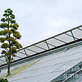 Century Plant by Eva Kato