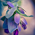 Cerinthe Dream by Priya Ghose