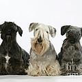 Cesky Terrier Dogs by John Daniels