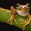Chachi Tree Frog Ecuador by Pete Oxford