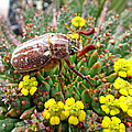 Chafer Beetle On Medusa Succulent by Duane McCullough
