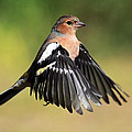 Chaffinch In Flight by Grant Glendinning