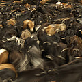 Chagras Round-up Cattle Ecuador by Pete Oxford
