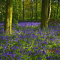 Chalet Wood Wanstead Park Bluebells by David French