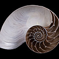 Chambered Nautilus Cross-section by Ingo Arndt
