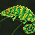 Chameleon by Anastasiya Malakhova