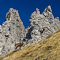 chamois in Alps by Ioan Panaite