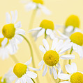 Chamomile Flowers Close Up by Elena Elisseeva