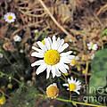 Chamomile In The Garden by Marina Logonova