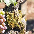 Champagne Grapes Closeup by Jit Lim