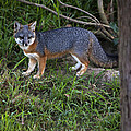 Channel Island Fox by David Millenheft