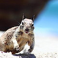 Charging Ground Squirrel by Richard Cheski