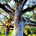 Charleston Grand Oak At Sunset by Anthony Ackerman