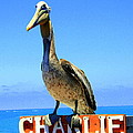 Charlie The Pelican by Laurel Talabere