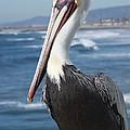 Charlie The Pelican by Steve Spurlin