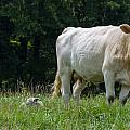 Charolais Cow And Calf In Field by Chris Flees