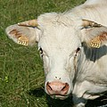 Charolais Cow by Christiane Schulze Art And Photography