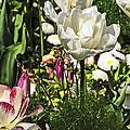 Chartres Garden White by Elvis Vaughn