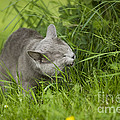 Chartreux Cat And Grass by Jean-Michel Labat