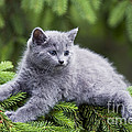Chartreux Kitten by Jean-Michel Labat