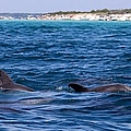 Chasing Dolphins  by Debra Forand