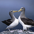 Chatham Albatross Courting Pair Chatham by Tui De Roy