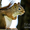 Chatty Squirrel by Cheryl Baxter