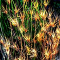 Cheat Grass 15750 by Jerry Sodorff